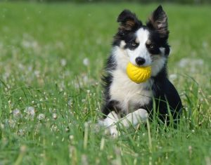 border-collie-672599_960_720